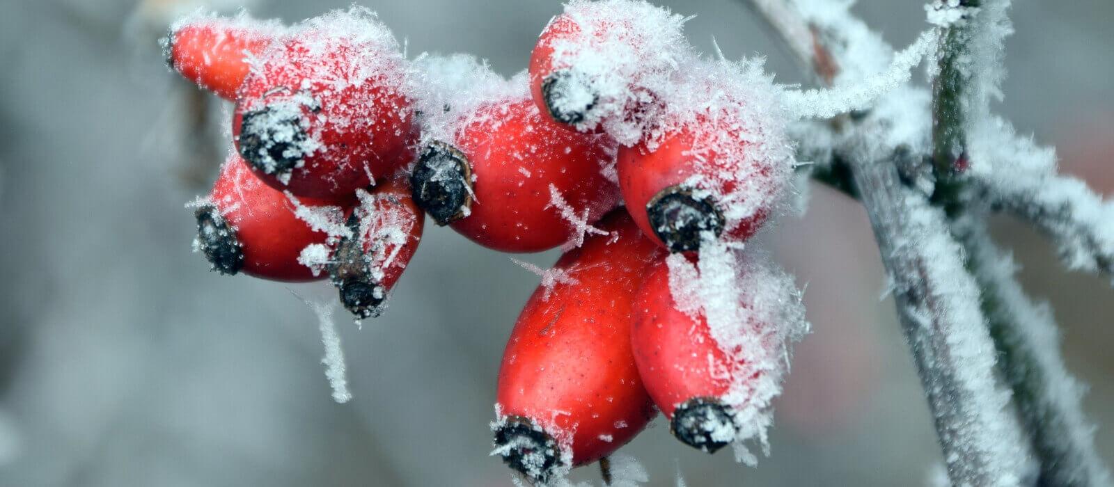 Hagebutten - mit den Wildfrüchten gesund durch den Winter
