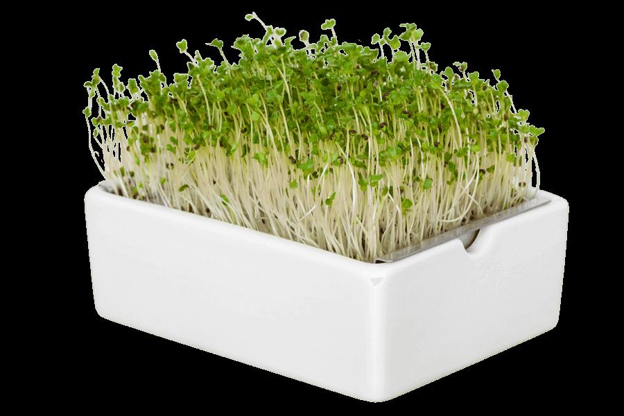 Sprossen Microgreens aus Saatpad